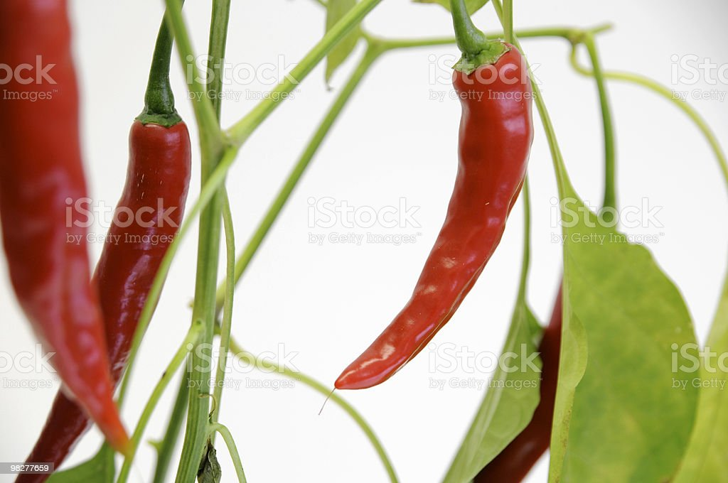 growing chilis royalty-free stock photo