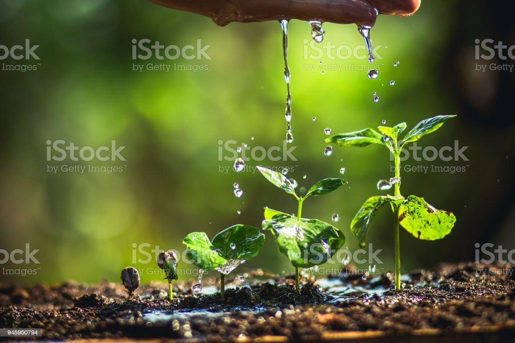 Wachsende Kaffeebohnen Bewässerung und Regen Bäumchen natürliches Licht und Hintergrund – Foto