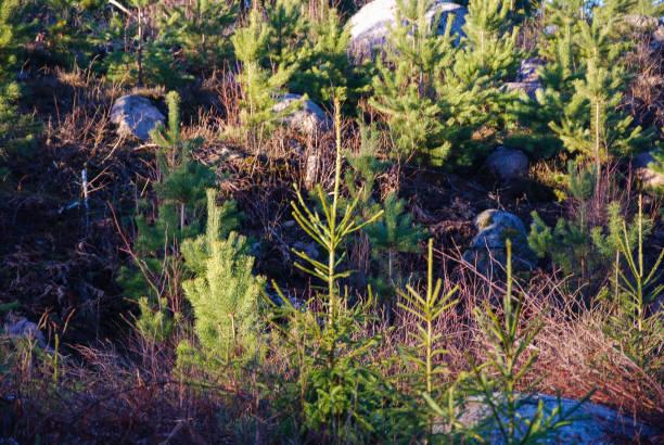 Growing coniferous plants - Photo