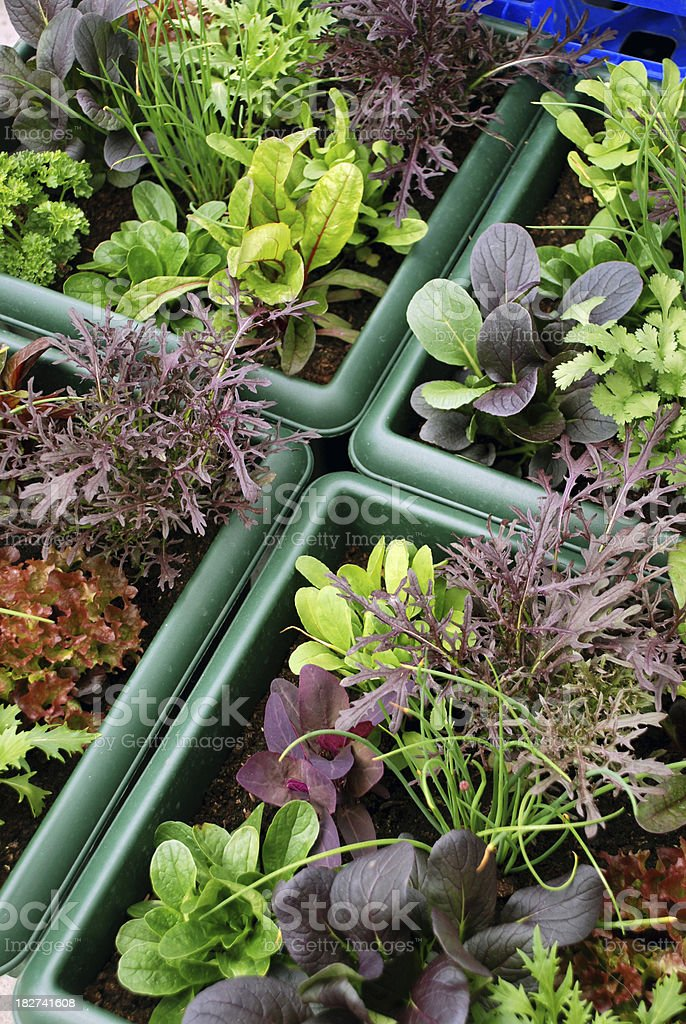 Growing Container Salad Greens royalty-free stock photo