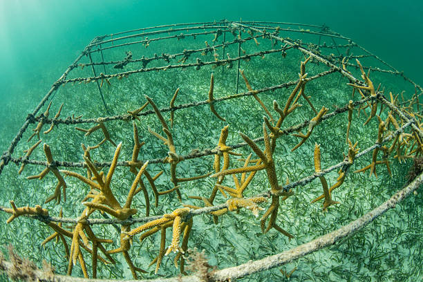 growing corals artificially - artificial reef stock pictures, royalty-free photos & images