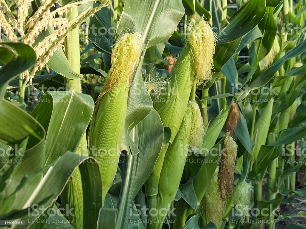 Growing corn royalty-free stock photo