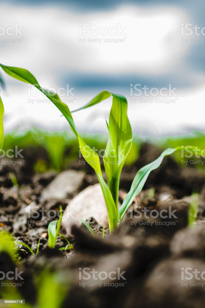 Maïs en croissance - Photo
