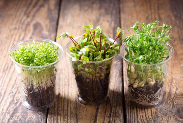 plantas crescentes do agrião em uns potenciômetros - foto de acervo