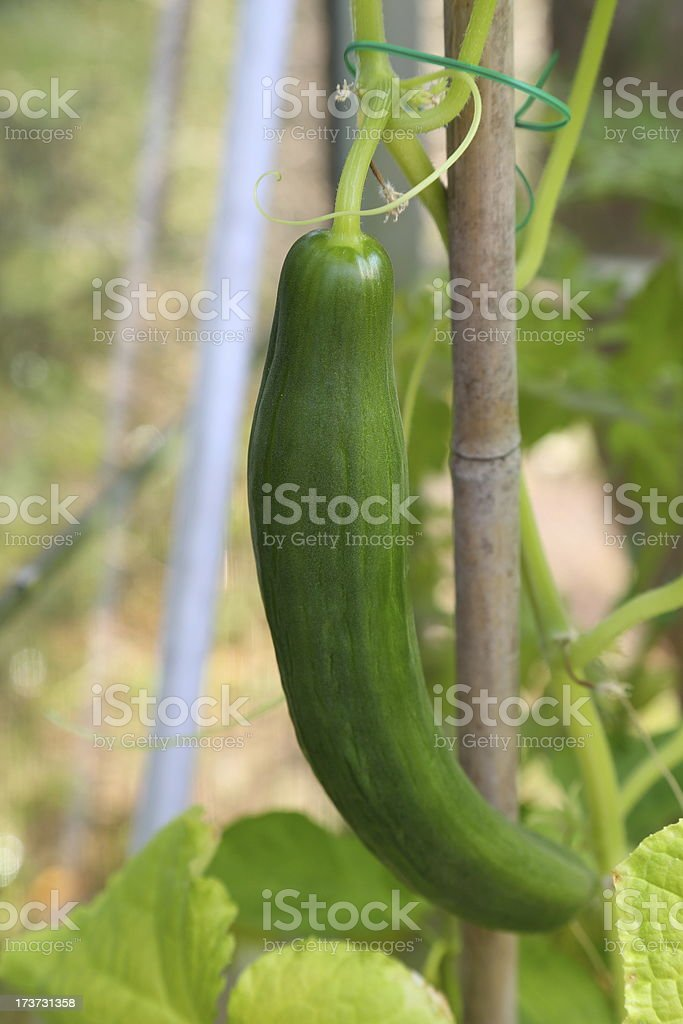 growing cucumber in a greenhouse royalty-free stock photo