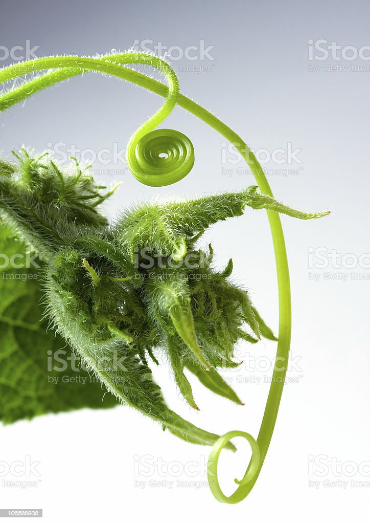 Growing cucumber liana royalty-free stock photo