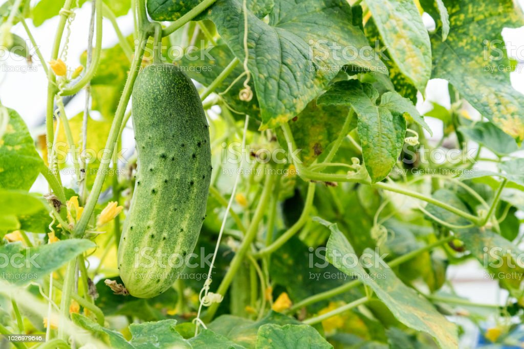 Growing cucumber with flower and tendrils in the green house. Growing vegetables stock photo