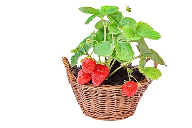 Growing Everbearing Strawberries in the Home Garden stock photo