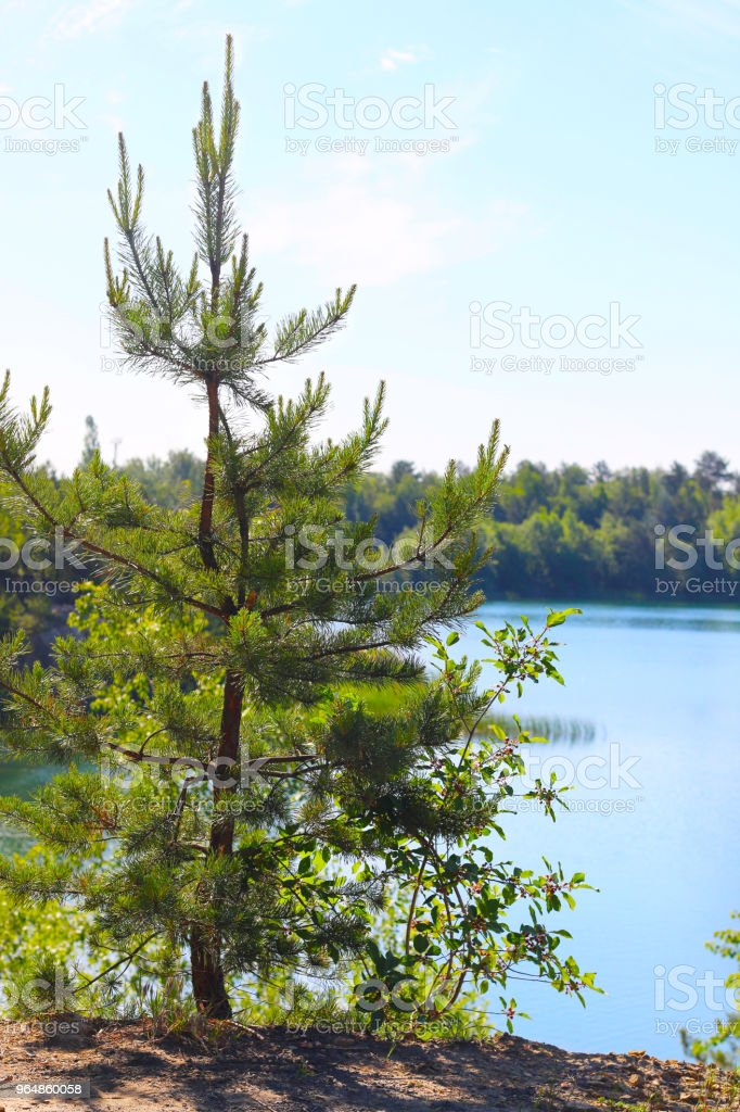 growing fir tree on lake background royalty-free stock photo
