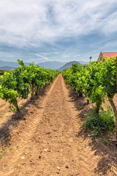 Growing grape on a vineyard in South Africa stock photo