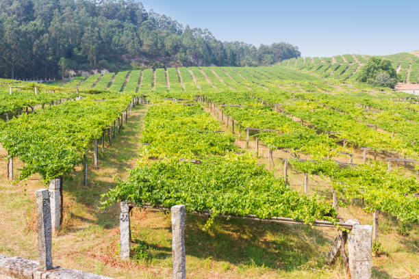 Growing grapes stock photo
