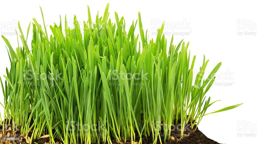 Growing grass stock photo