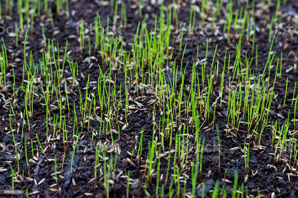 Growing grass stock photo