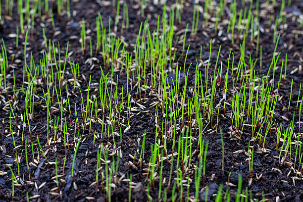 growing grass - zaaien stockfoto's en -beelden