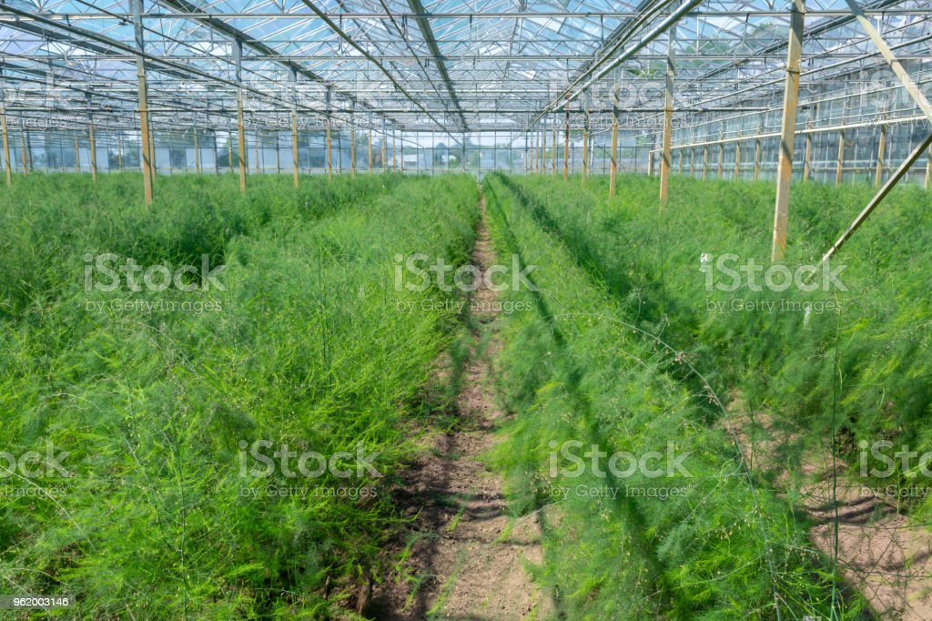 Growing green asparagus plants for seeds in greenhouse stock photo