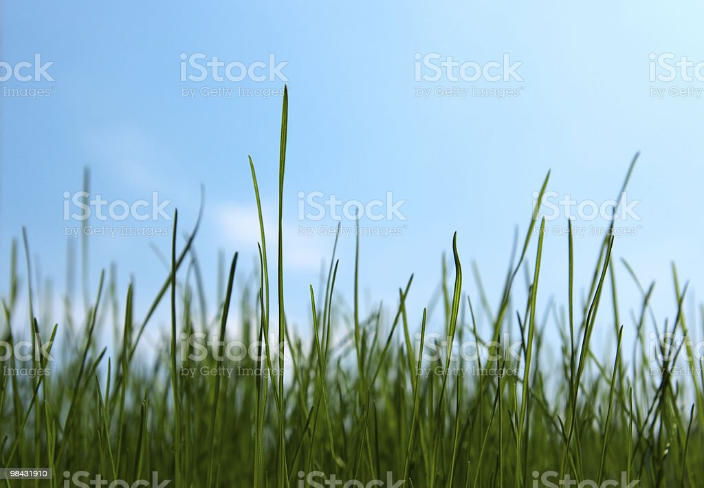 Growing green grass royalty-free stock photo