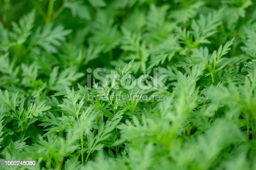istock Growing green leaves on green natural selective focus background. 1002248080