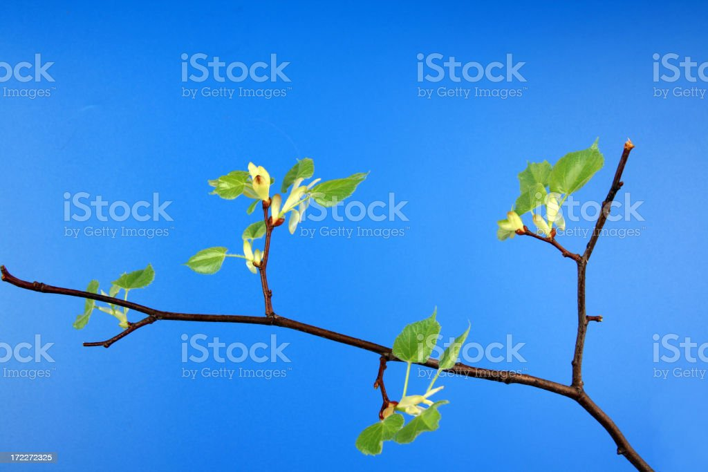 Growing green leaves royalty-free stock photo