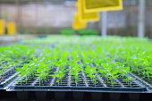 growing green plant seedlings in industrial bedding agricultural plant nursery greenhouse, plantation, farm, garden background. Commercial, wholesale, retail gardener and environment conserve concept