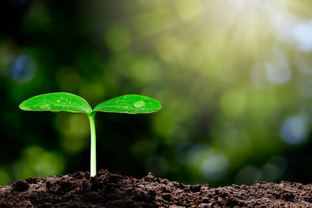 Growing green sprout with water drop on blurred green bokeh background with sunlight, environmental concept Growing green sprout with water drop on blurred green bokeh background with sunlight, environmental concept sustainable resources stock pictures, royalty-free photos & images