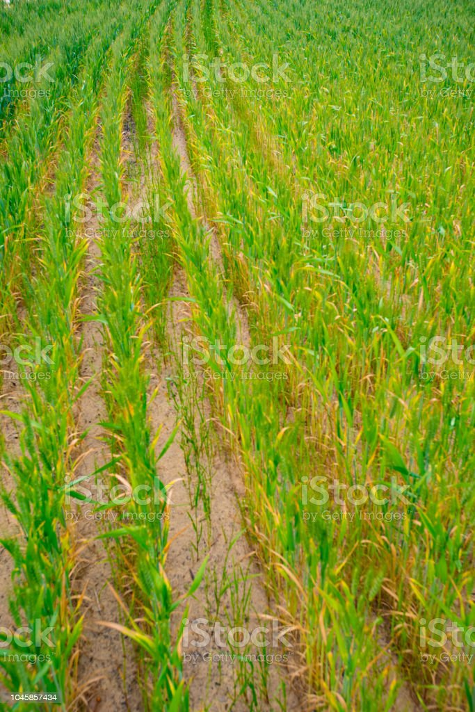 Growing green wheat in tramlines ploughed in the earth stock photo