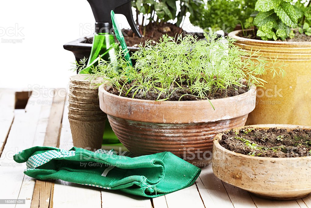 herbs such as dill, mint and bay in pots and gardening equipment