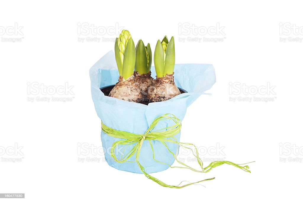 Growing hyacinth flower bulb in pot stock photo