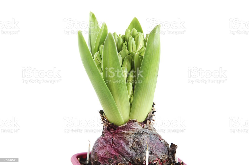 Growing hyacinth royalty-free stock photo
