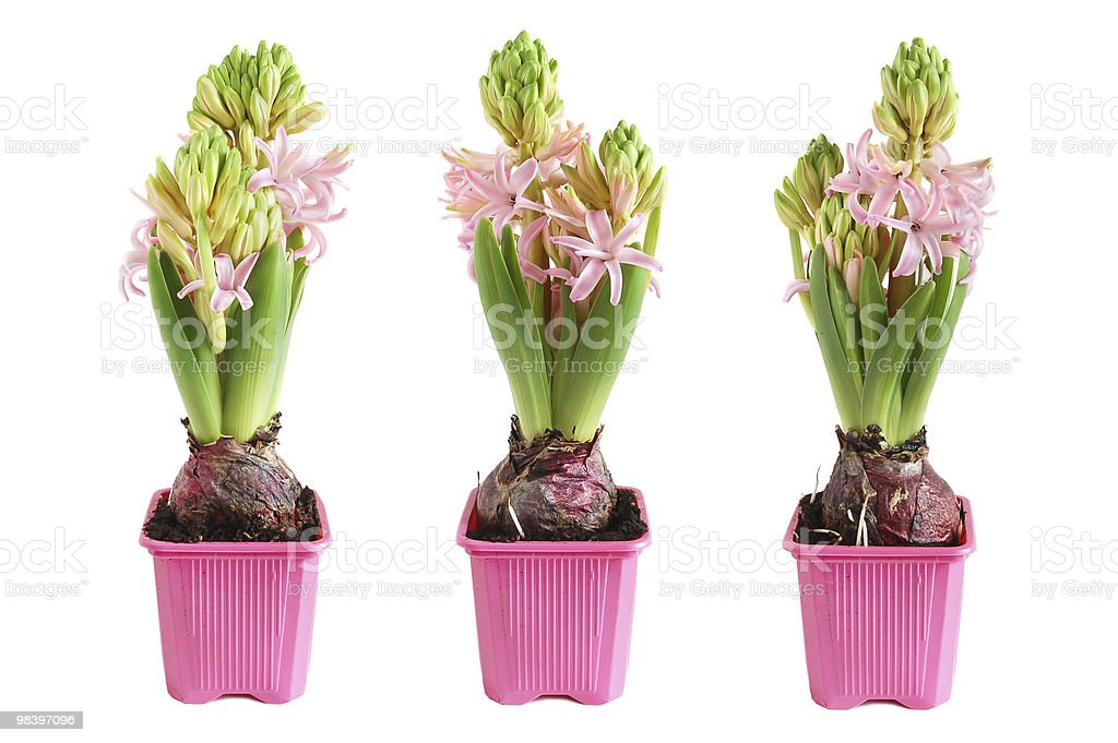 Crescita Giacinto foto stock royalty-free