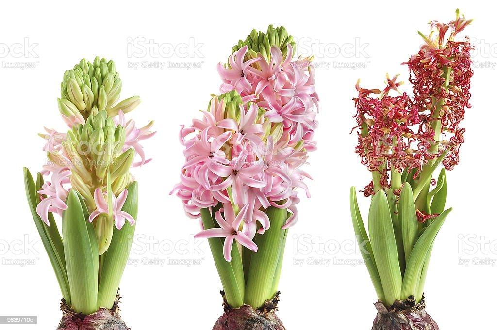 Growing hyacinth royalty-free stock photo