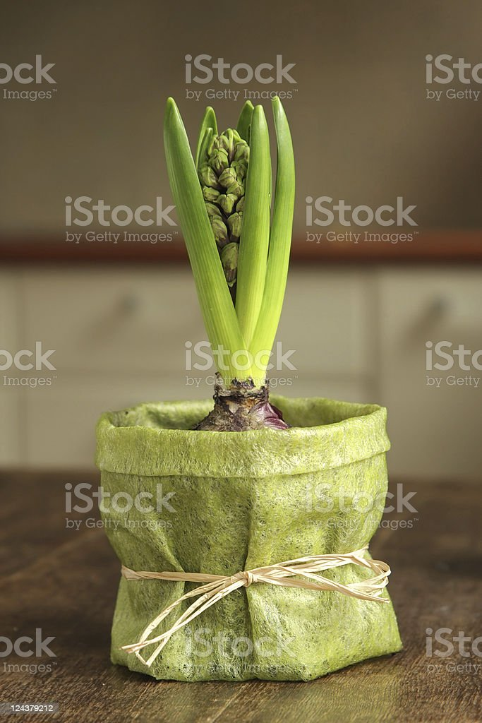 growing hyacynth stock photo