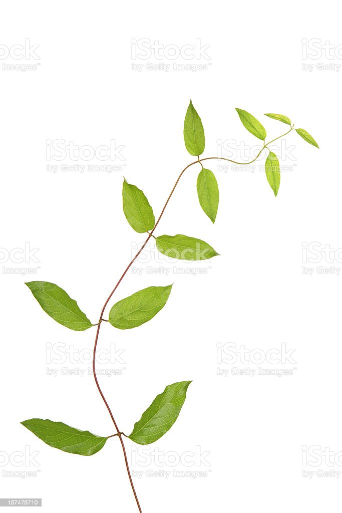 Growing Ivy royalty-free stock photo