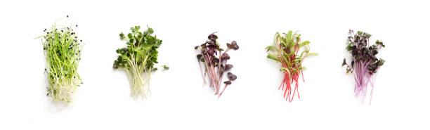 Grünkohlanbau, Luzerne, Sonnenblume, Rucola, Senfsprossen – Foto