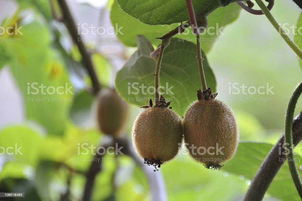 Growing kiwi stock photo