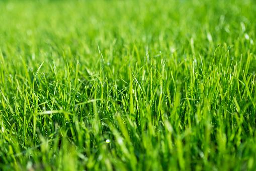 lush green lawn, landscaping backyard or lawn garden