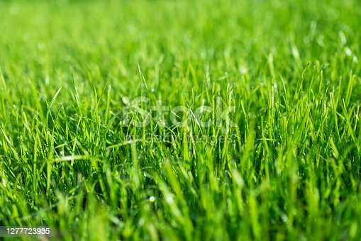 lush green lawn, landscaping backyard or lawn garden