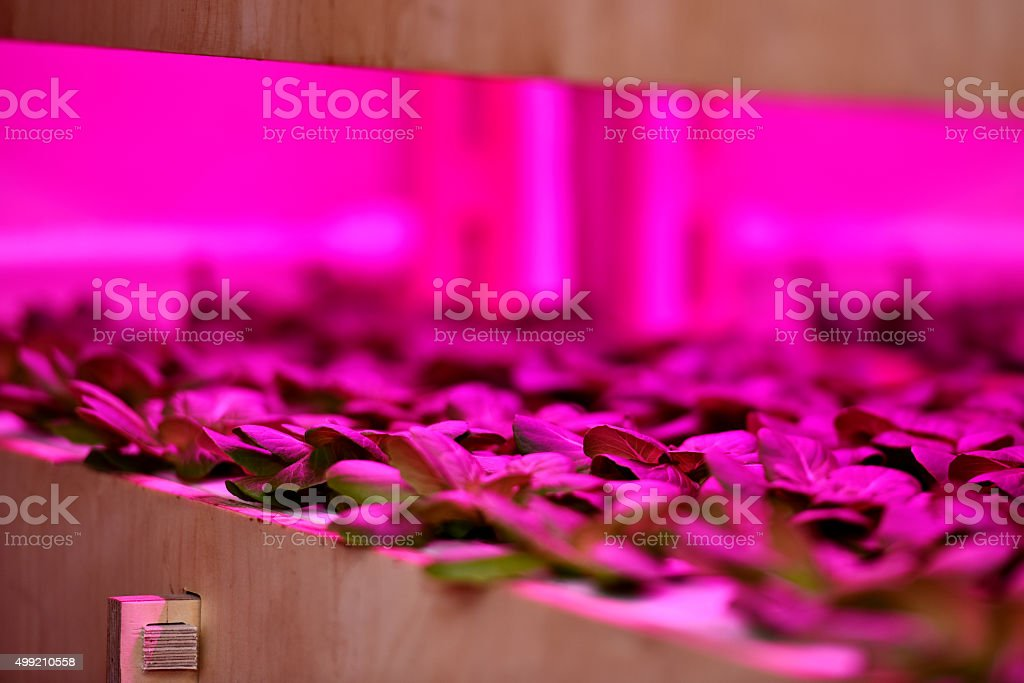 Growing lettuce in indoor farms stock photo