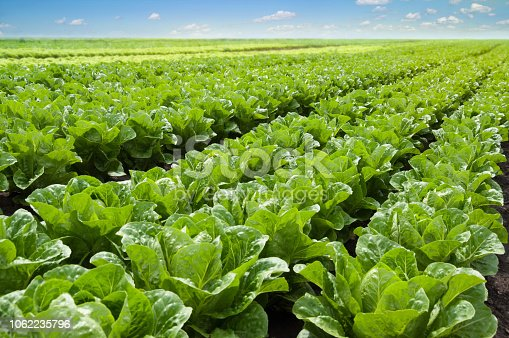 Growing lettuce in rows in a field on a sunny day.