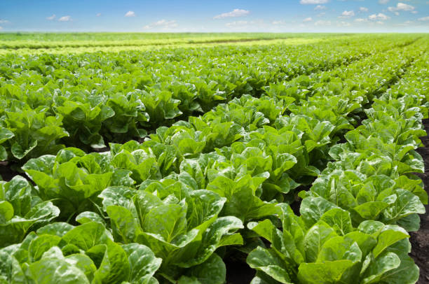 growing lettuce in rows in a field on a sunny day. - lattuga foto e immagini stock