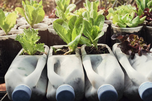 growing lettuce in used plastic bottles and cups, reuse recycle eco concept - milk bottle stock photos and pictures