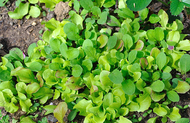 Growing lettuce stock photo