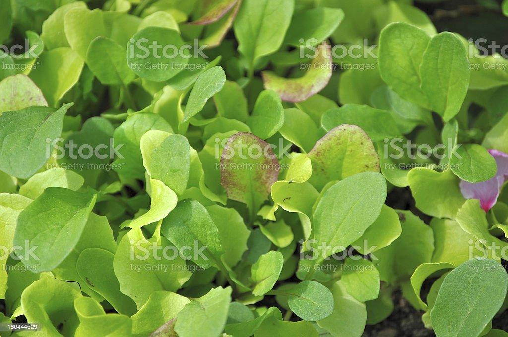 Growing lettuce stock photo