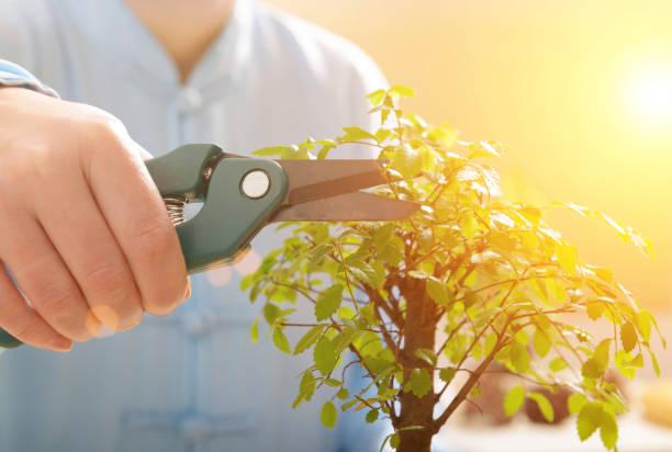 Kleinbonsai-Baum wachsen – Foto