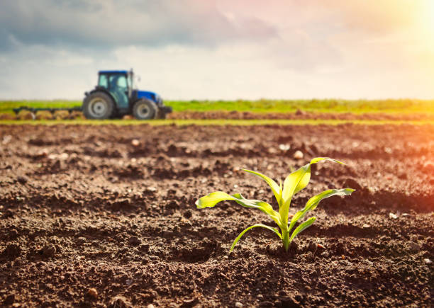 Growing maize crop and tractor working on the field Detail of growing maize crop and tractor working on the field crop plant stock pictures, royalty-free photos & images