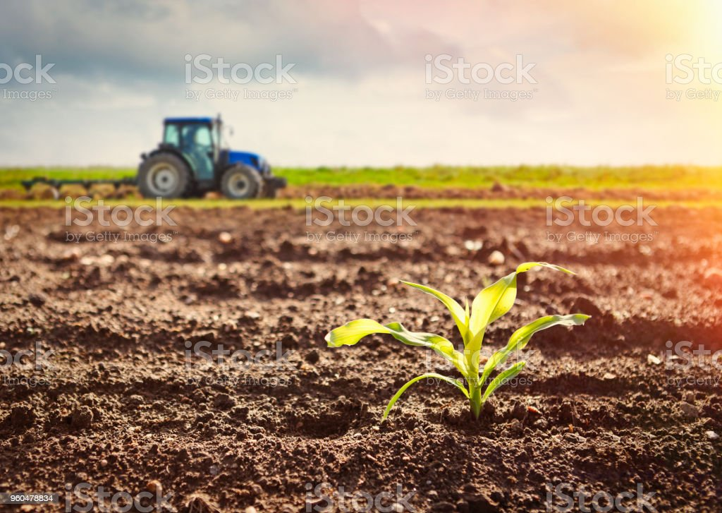 Growing maize crop and tractor working on the field stock photo