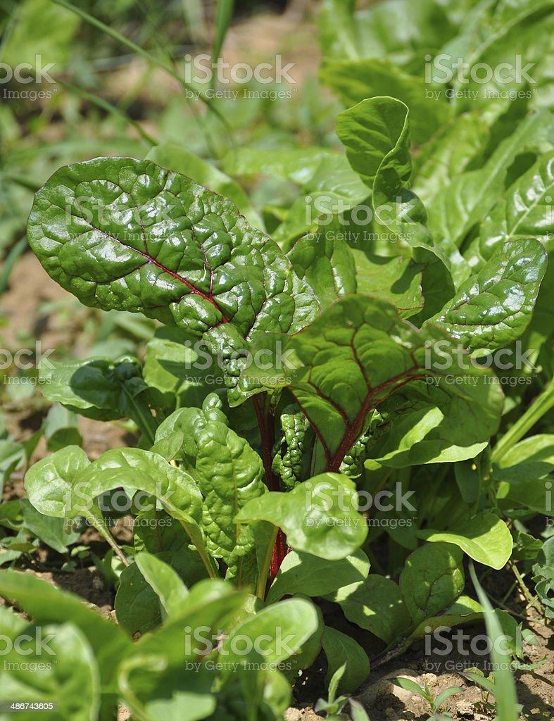 Growing mangold in the garden, Beta vulgaris stock photo
