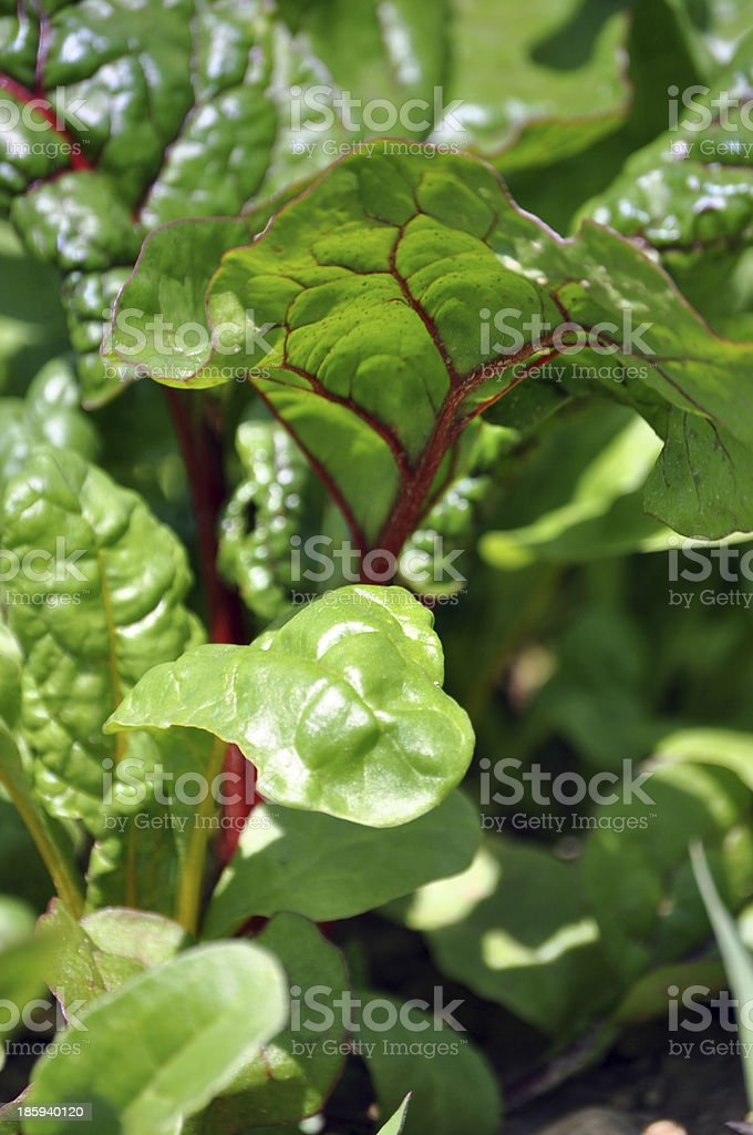 Growing mangold in the garden stock photo
