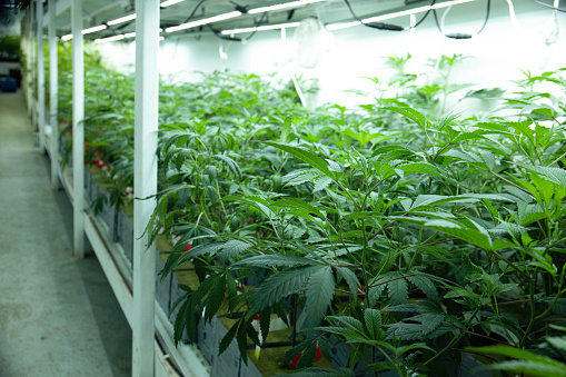 597927996 istock photo Growing Marijuana Hemp Cannabis in Commercial Greenhouse LED Lights Legal Recreational Drug Business 1214966550