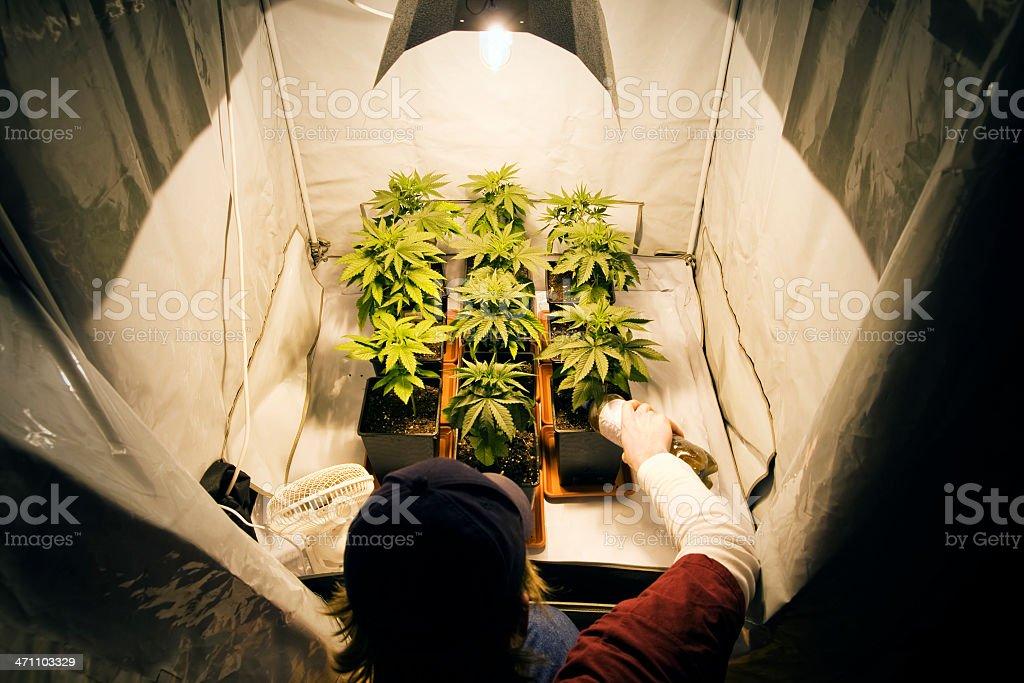 Crecimiento de marihuana - foto de stock