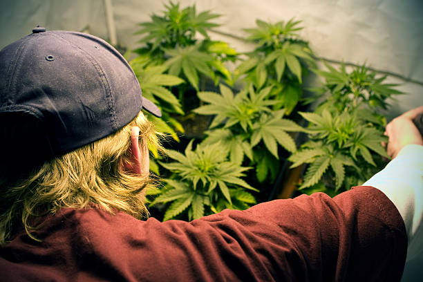 Growing Marijuana Young man tends to a batch of marijuana plants in The Netherlands. Strong DOF, with main focus on young man. davelongmedia stock pictures, royalty-free photos & images